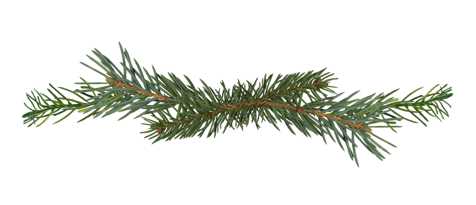 Illustrative image of spruce branch