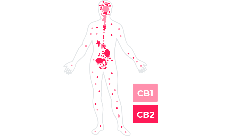 CB1 and CB2 receptors on the human body